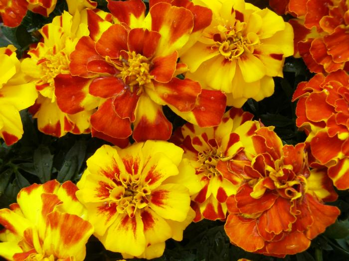 The poor often left marigold for Mary instead of gold coins.