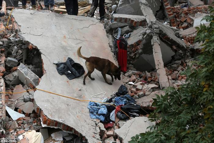 A dog sniffs for survivors under the rubble.