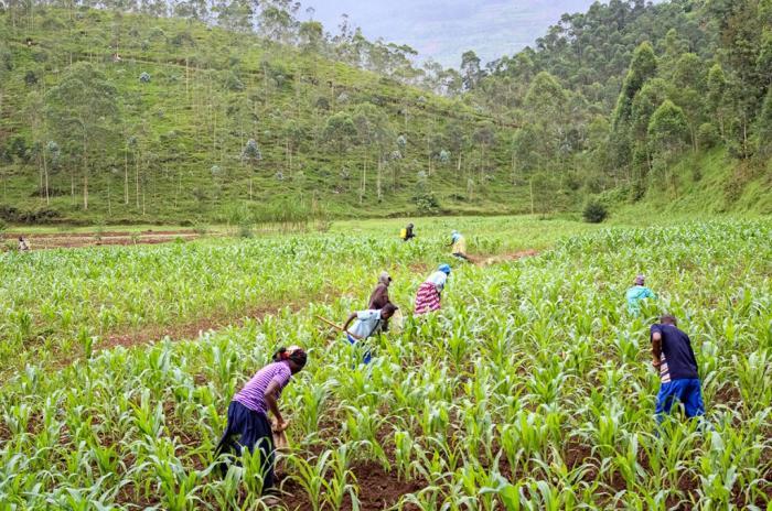 Des agriculteurs en milieu rural au Rwanda restent sceptiques quant a la capacitie d