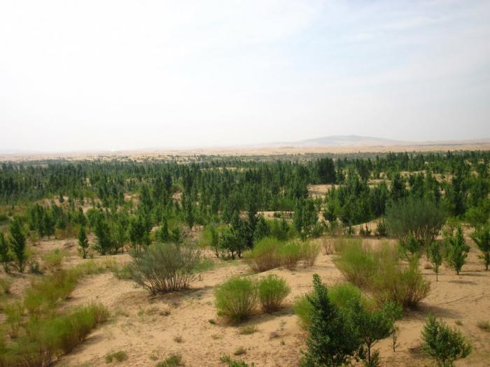Greening desert in China. As the climate shifts, some places turn to desert, others green.