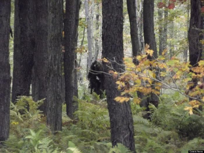 Is this Bigfoot? Or a tree stump? Or a bear?