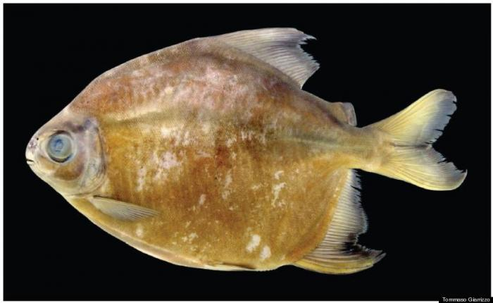 This new species of piranha, Tometes camunani, can span 20 inches wide and weigh up to 9 pounds, and