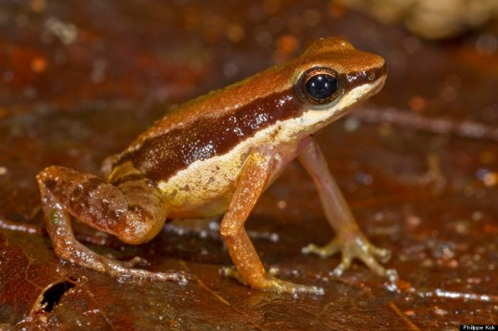 This amphibian is already believed to be highly endangered. In fact, its Latin name, Allobates amiss