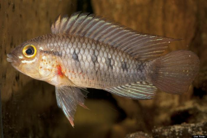 Apistogramma cinilabra is found in Peru.