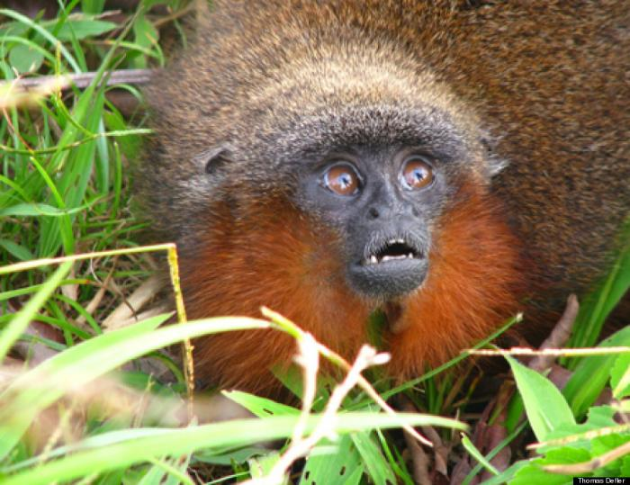 This new species, Callicebus caquetensis, is one of about 20 species of titi monkey, which all live