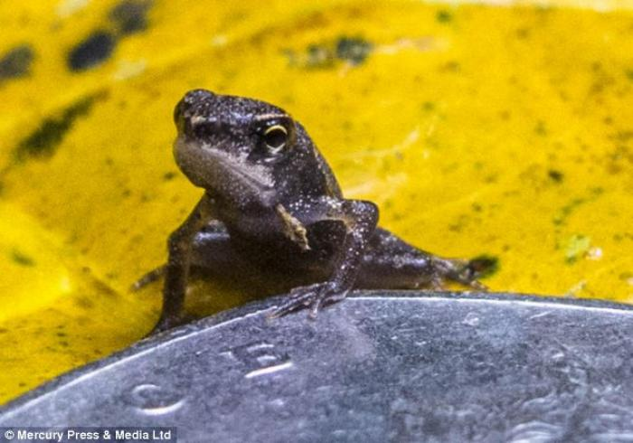 The miniature killer frog secretes a poison from its skin which can paralyze a person