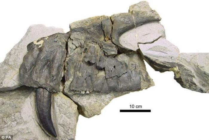 One of the original upper mouth palates of the Torvosaurus gurneyi is pictured. T. gurneyi had blade