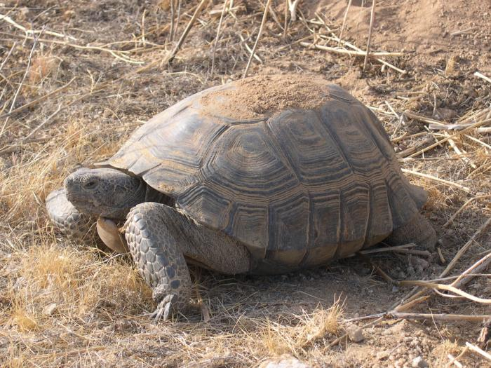 A military operation, because desert tortoises are endangered.