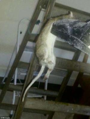 The giant monster rat was found in a family residence in Kingswood, south Dublin last week.