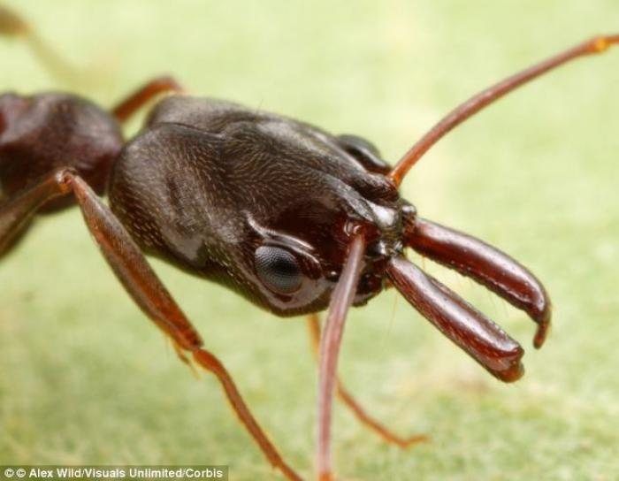 Most trap-jaw ants belong to the genus Odontomachus, named for their mandibles, or mouthparts, which