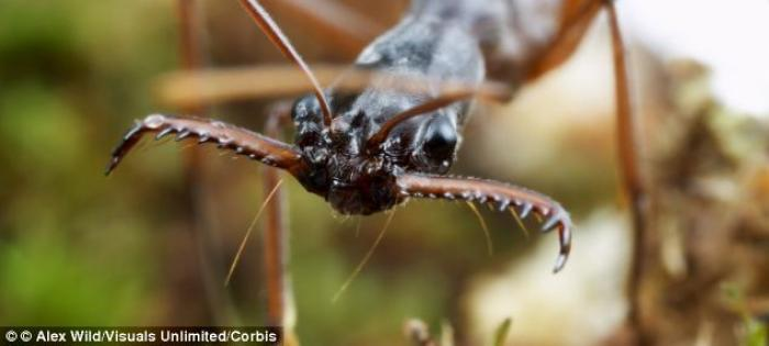 The Mandibles of a Malagasy Trap-jaw Ant - which are strong enough to throw the animal in the air.