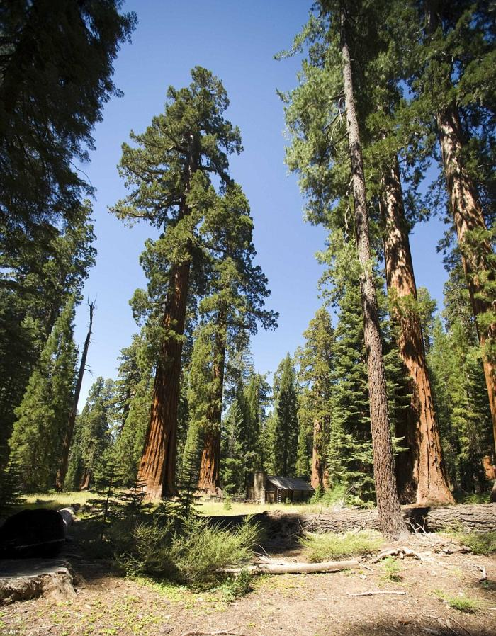 In this Aug. 27, 2009 photo, giant sequoias dwarf a cabin in the upper Mariposa Grove at Yosemite Na