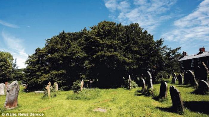 The ancient yew (pictured) in a Welsh churchyard has standing since more than 3,000 years before Chr