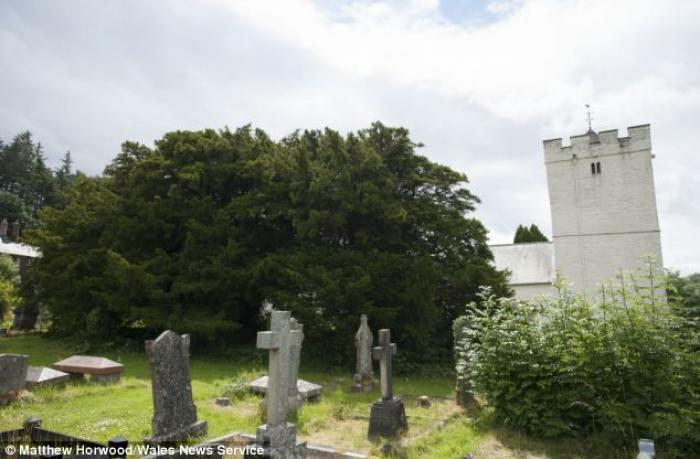 It is believed that the yew (recording-breaking specimen pictured) is found in churchyards across Eu