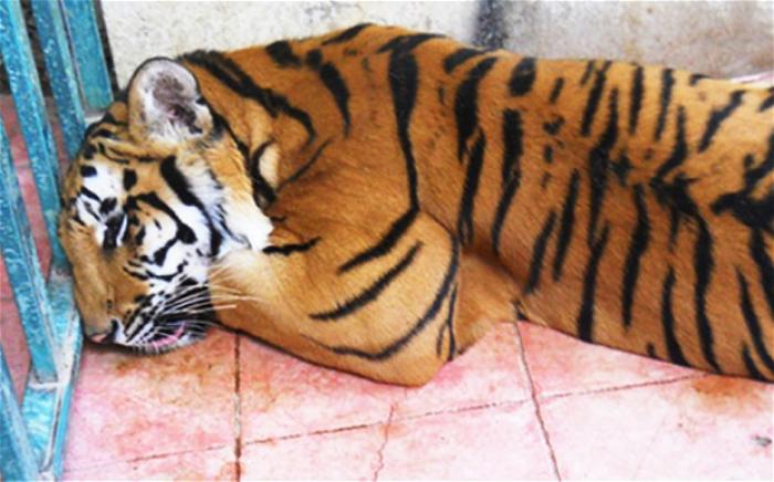 A tiger was found in a cage in a room of an abandoned house by Mexican authorities. The tiger has be