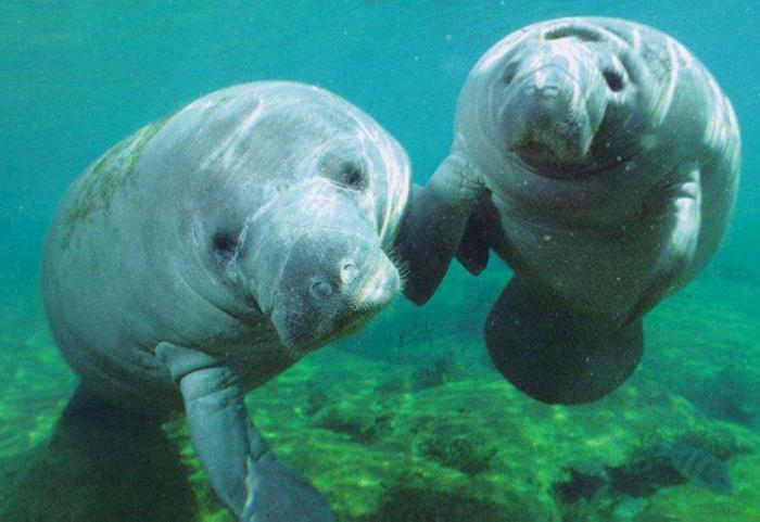 "While manatees would still remain protected, the move to become merely ""threatened"" would allow rest"