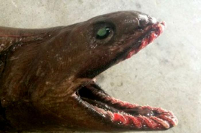 Living fossil shark mouth