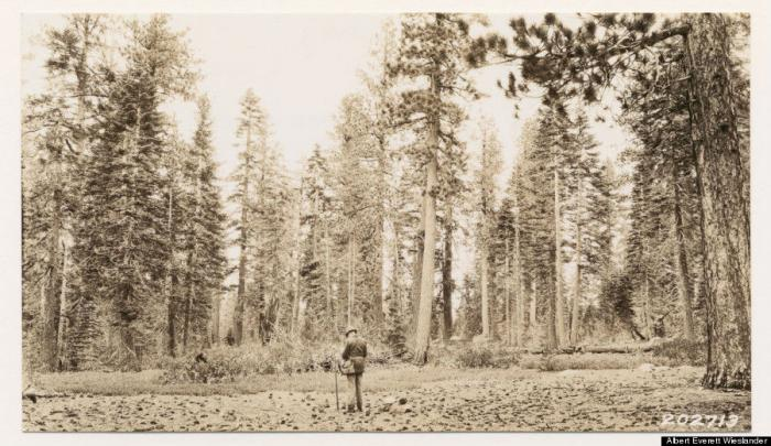 California is known for its forests full of massive pine trees, and large trees in general. But rece